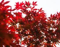 Rosablätter des japanischen Ahorns u. des x28; Acer-palmatum& x29; Lizenzfreie Stockfotos
