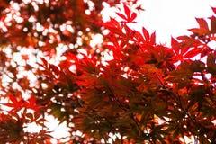Rosablätter des japanischen Ahorns u. des x28; Acer-palmatum& x29; Stockfotos