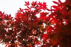 Rosablätter des japanischer Ahorn Acer-palmatum Stockfotografie