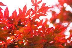 Rosablätter des japanischer Ahorn Acer-palmatum Stockbilder
