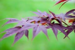 Rosablätter des japanischer Ahorn Acer-palmatum Lizenzfreie Stockfotos