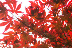 Rosablätter des japanischer Ahorn Acer-palmatum Stockfotos