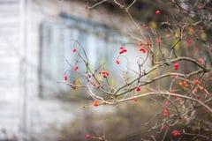 Rosacea bush in the autumn garden. Near the old house Stock Photo