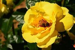 Rosacea color de rosa que sube amarillo con los Apis occidentales Mellifera de la abeja de la miel que recoge el polen dentro Fotografía de archivo libre de regalías