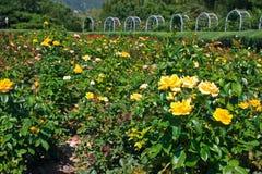Rosaceae Zdjęcie Royalty Free