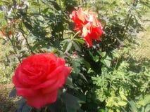 Rosaceae Stock Foto