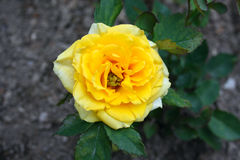Rosaceae Stock Photo