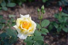 Rosaceae color de rosa del chino Imagenes de archivo