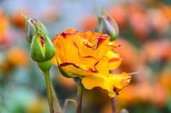 (Rosaceae) in the garden. Field of orange rose (Rosaceae) in the garden Stock Photos
