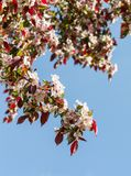 Rosaceae malus x purpurea, a large branch with flowering. Small flowers light and pink against a blue sky, a spring period, a sunny day, a vertical shot Royalty Free Stock Photography
