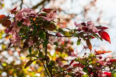 Rosaceae malus x purpurea, a large branch with flowering small flowers. Light and pink against a gray sky, a spring period, a sunny day Stock Photos
