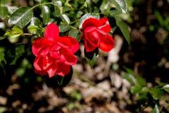 Rosaceae Rosa - Flower Carpet Appleblossom - Red roses on bush. In garden Royalty Free Stock Photos