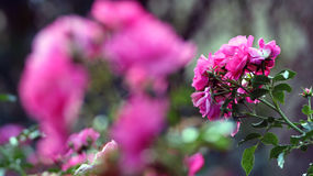 Rosaceae. Some roses in pink color Stock Photo