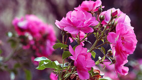 Rosaceae. Some roses in pink color Rosaceae Stock Photography