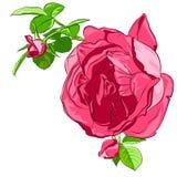 Rosado aislada subió con los brotes en un fondo blanco Foto de archivo libre de regalías