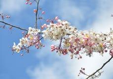Rosado, blanco, flor de desear el árbol, árbol del craib del bakeriana de la casia, Foto de archivo