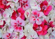 Rosado, blanco, rojo, flor, marco, tarjeta de felicitación, día de fiesta, fondo, modelo, modelo, tela, material, primavera, aleg Fotografía de archivo libre de regalías