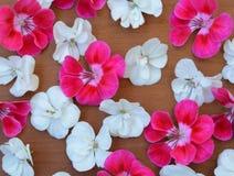 Rosado, blanco, rojo, flor, marco, tarjeta de felicitación, día de fiesta, fondo, modelo, modelo, tela, material, primavera, aleg Fotos de archivo libres de regalías