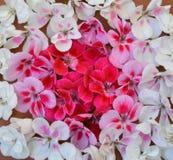 Rosado, blanco, rojo, flor, marco, tarjeta de felicitación, día de fiesta, fondo, modelo, modelo, tela, material, primavera, aleg Foto de archivo libre de regalías