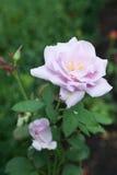 Rosado florecida subió con moho Fotos de archivo libres de regalías
