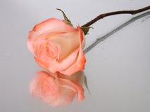 Rosado moje color de rosa con gotas del agua Imágenes de archivo libres de regalías