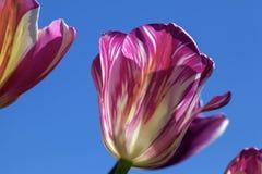 Rosado y blanco raya a Tulip Flower Closeup Foto de archivo libre de regalías