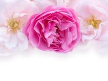 Rosado y pálido brillantes - rosas rosadas en el fondo blanco fotografía de archivo libre de regalías