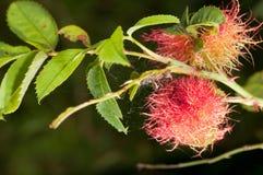 Rosae de Diplolepis Imagens de Stock Royalty Free