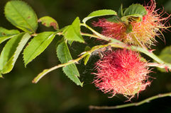Rosae di Diplolepis Immagini Stock Libere da Diritti
