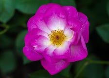 Rosae `Escapade`. Rose `Escapade` at New York Botanical Gardens Stock Image