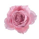 Rosafarbene Abbildung des Rosas Lizenzfreies Stockbild