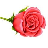 Rosafarbene Abbildung des Valentinsgrußrosas Stockbild