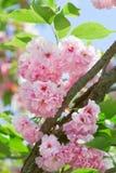 Rosafarbene abloom japanische Blüte der Kirsche (Sakura) Stockfoto