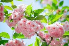 Rosafarbene abloom japanische Blüte der Kirsche (Sakura) Stockbilder