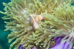 Rosafarbene Anemonefische, (Amphiprion perideraion) Lizenzfreie Stockbilder