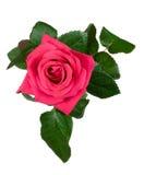 Rosafarbene Ansicht des Rosas von oben Lizenzfreies Stockfoto
