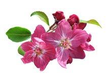 Rosafarbene Apfelblüte getrennt Stockfotografie