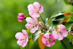 Rosafarbene Apfelblumen Stockbild