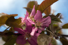 Rosafarbene Apfelblumen Stockfoto