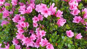 Rosafarbene Azaleeblume stockbild