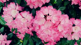 Rosafarbene Azaleeblumen rhododendron Die Kamera verschiebt sich zurück auf dem Schieber Farbkorrektur stock video