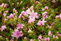 Rosafarbene Azaleen in der Blüte Stockbild