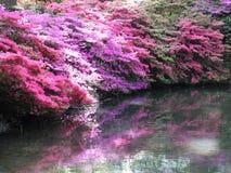 Rosafarbene Azaleen mit Schatten über Wasser Stockfotografie