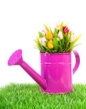 Rosafarbene Bewässerungsdose mit bunten Tulpen Stockbild