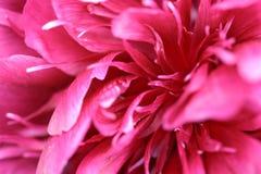 Rosafarbene Blüte Lizenzfreies Stockbild