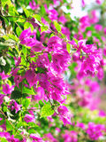 Rosafarbene Blüte Lizenzfreie Stockbilder