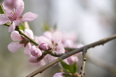 Rosafarbene Blüte Stockfoto