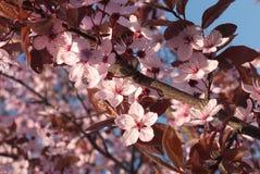 Rosafarbene Blüte der Nahaufnahme Lizenzfreie Stockbilder