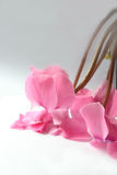Rosafarbene Blüten Lizenzfreie Stockfotos