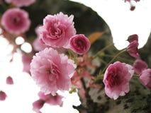 Rosafarbene Blüten Stockfoto